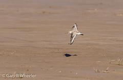 Sanderling (Ponty Birder) Tags: g b wheeler garywheeler pontybirder wales waders birds flight birdsinflight inexplore