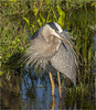 Great Blue Heron (billkominsky ) Tags: naturethroughthelens ngc coth5 npc