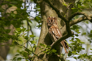 One of the parents of the Tawny owlet i posted the other day, i feel so privilaged to be able to watch the family while at this special time. Cannock Chase 18/5/18 Morning.