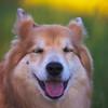 wakee wakee (Per Jensen) Tags: 2018 may krummi funny closed eyes icelandic sheepdog dog portrait outdoors