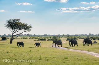 A family of elephants march in a straight line across the landscape of Hwange National Park. Hwange, Zimbabwe.