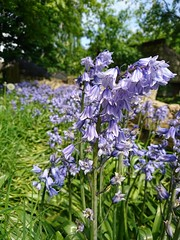 Bluebells (Simply Sharon !) Tags: bluebells flowers springflowers wildflowers nature may