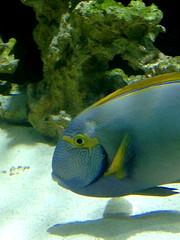 Aquarium de nancy (nuit des musées) (dominique jacquier) Tags: poisson bleu aquarium
