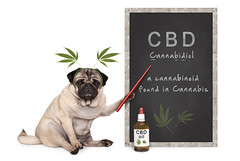 Pug Puppy Dog With Hemp Leaves Diadem Pointing At Blackboard With Text Cbd And Dropper Bottle With O (Compare CBD) Tags: cbd adorable advertising alternative analgesic animal background beautiful blank bottle canine cannabidiiol cannabinoids cannabis cute dog down droll dropper dropping drugs funny hemp isolated leaves lovely marijuana media medical medication medicinal medicine oil pets pipette pretty promote promotional pug puppy sign sits sitting small template thc weed white