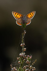 Small Copper (Lycaena phlaeas) (Wildlife Photography by Matt Latham) Tags: 7dmarkii canon insect kirkbymoor lincolnshire lycaenaphlaeas mattlatham photography smallcopper unitedkingdom backlit butterfly copper flash lepidoptera macro nature naturephotography spring wildlife wildlifephotography woodland