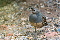 Female Gambel's quail (Callipepla gambelii) (Gordon Magee) Tags: sedona gambelsquailcallipeplagambelii female bird