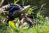 The Safest Place (tanyalinskey) Tags: wildlife wild nature grass mallard duck duckling waterfowl birds animals animal