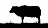 Sheep Silhouette. (Tony Smith Photo's) Tags: black farm farmer farming isolated silhouette sky white agricultural agriculture animal country countryside ewe farmyard flock isolatedonwhite lamb livestock object outline ram rural sheep skyline symbol wool