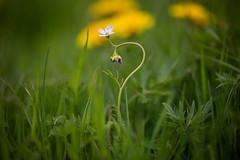 Earth Day (Pittypomm) Tags: 2018p52 week17 earthday cuckooflower cuckoo flower cardamine pratensis lilac white dandelion meadow grass green stem earth day macro plant
