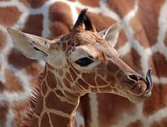 reticulated giraffe artis BB2A0258 (j.a.kok) Tags: giraffe giraffacamelopardalisreticulata netgiraffe reticulatedgiraffe artis animal africa afrika babygiraffe mammal zoogdier dier herbivore