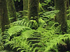 Laurissilva on São Miguel Island (RobertLx) Tags: laurissilva laurelforest forest lush vegetation dense sãomiguel azores açores portugal europe atlantic island subtropical tree trunk fern moss green plant nature landscape