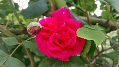 Roses (faicaljalal) Tags: fleur flowers rose roses nature jardin garden red green rouge vert