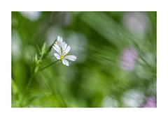Macro-4125A0513-Modifier-4 (helenea-78) Tags: fleurs fleurssauvages macro nature