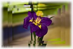 LA Arboretum Los angeles CA (bryanasmar) Tags: la arboretum los angeles ca fujifilm xt2 metabones speedbooster ultra nikon ais 10518 gnc lightroom photography art editing beautiful purple