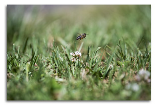 Bee lifting off a Clover Macro Flower
