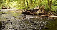 Oswald West State Park (pete4ducks) Tags: on1pics cropped stream water creek oregon trees 2017 summer hiking nature green rocks ripples raw outdoors sonyalpha mirrorless ngc 500views