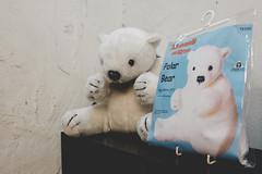 Polar Bear (Matthew-King) Tags: york north yorkshire polar bear buttons for
