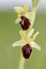 Ophrys sphegodes (Patatitphoto) Tags: lauragais flore orchidéessauvages orchids flower fleur macro proxy bokeh flou canon nature