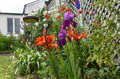 Flowers of Many Colours (Jocey K) Tags: bankspeninsula newzealand nikond750 southisland akaora flowers garden fence house trees clouds sky beardediris lily akaroa