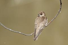 Hirondelle à ailes hérissées / Northern Rough-winged Swallow (alainmaire71) Tags: oiseau bird hirundinae stegidopteryxserripennis hirondelleàaileshérissées northernroughwingedswallow nature quebec canada
