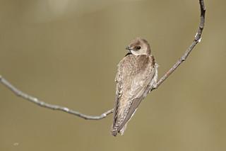 Hirondelle à ailes hérissées / Northern Rough-winged Swallow