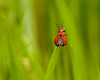 Red-headed Cardinal Beetle (microwyred) Tags: damselflies wildlife insects places spennellsvalleypark redheaded cardinal beetle