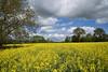 Entre colza et nuages (Excalibur67) Tags: nikon d750 sigma globalvision 24105f4dgoshsma paysage landscape ciel cloud sky nature nuages colza arbres trees campagne