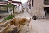 Gyantse old town, Tibet 2017 (reurinkjan) Tags: tibetབོད བོད་ལྗོངས། 2017 ༢༠༡༧་ ©janreurink tibetanplateauབོད་མཐོ་སྒང་bötogang tibetautonomousregion tar gyantséརྒྱལ་རྩེ།county gyantseoldtown cow streetview townshipསྡེ་གཞུང་།ཤང་། townགྲོང་གསེབgronggseb hometownཕ་ཡུལphayul tibetanarchitecture