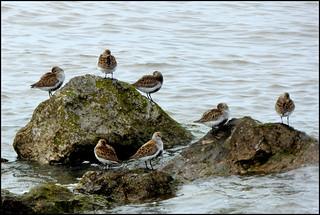 Dunlin waiting for the ebb tide.