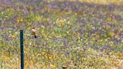 Like monet... (The eclectic Oneironaut) Tags: 2018 6d canon eos portugal monfortinho castelobranco pt bird pajaro colors spring primavera fence impresionismo impresionism