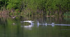 Goose Pursuit (MTSOfan) Tags: canadagoose muteswan chase pursuit lake protect defend flee birds competition bravado