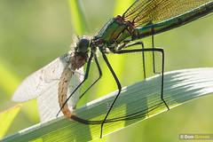 Ephemeral III (Dom Greves) Tags: behaviour demoiselle eating ephemeroptera insect invertebrate may mayfly predation river rivermole spring surrey uk wetland wildlife ephemeradanica