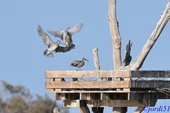 Whimbrel (jordi51) Tags: numeniusphaeopus zarapitotrinador pòlitcantaire whimbrel jordi51 aves birds wildlife nature naturaleza lacharca laspalmasdegrancanaria maspalomas