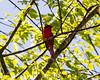 Male Cardinal: Side View (that_damn_duck) Tags: nikon bird nature animal cardinal malecardinal tree sky