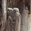 Baby Great Horned Owls (jimbobphoto) Tags: muppets owlet erie park owl bird animal nature tree babybird baby fluffy eyes