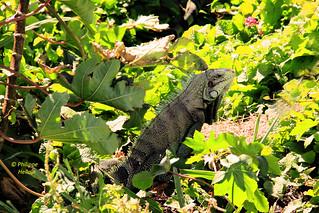 Guadeloupe ©  Iguane