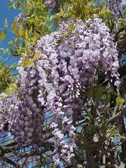 Blauregen - Wisteria (madbesl) Tags: blauregen wisteria frühling spring olympus omd em10 m10 omdem10 zuiko1250 natur nature