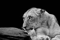 The Honeymoon is Over (MudMapImages) Tags: lioness conservation expression zoo