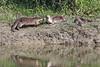 Smooth-coated Otter - Lutrogale perspicillata (Roger Wasley) Tags: smoothcoatedotter lutrogaleperspicillata kaziranga nationalpark india animal indian asia