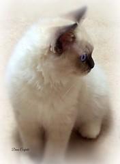 Cammy when he was the baby... (dianecorfield) Tags: ragdollkitten blueeyes ilovemycat fluffy affectionate