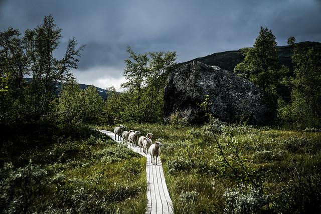 Norwegian Sheep