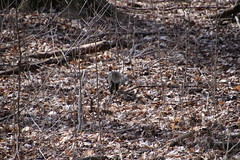 Squirrels at Maybury State Park (Northville, Michigan) - April 2018 (cseeman) Tags: parks stateparks michiganstateparks departmentofnaturalresources michigandepartmentofnaturalresources northville michigan maybury mayburystatepark trees trails paths nature publicparks wildlife mayburyapril2018 animals squirrels squirrelsmaybury mayburyapril2018squirrels foxsquirrels easterngreysquirrels blacksquirrels redsquirrels chipmunks