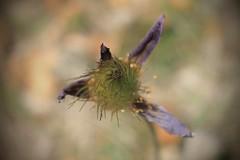 pulsatile (bulbocode909) Tags: valais suisse nature montagnes fleurs pulsatiles printemps vert jaune