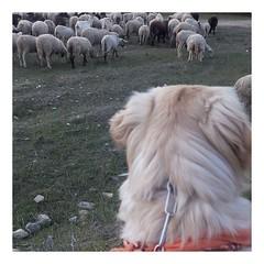 Album Chiens Clients Janvier-Avril 2018 (23) (Dalmatien-Golden-Braque) Tags: dalmatien goldenretriever braquedeweimar chien carcassonne elevage eleveur animaux dog breader