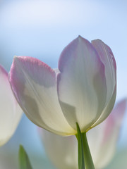 Friday flower power (somareja*pictures) Tags: flowermacro macrodreams macro frühling natur olympusdigital flower blumen tulpe freitagsblume fridaysflowerpower flickr markusreber somarejapictures