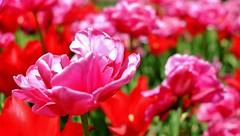 Flashy... (Nik Photographie) Tags: tulipe tulip tulipes fêtedelatulipe morges flowers