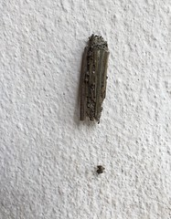 Psychidae-bagworm moth (SierraSunrise) Tags: thailand isaan esarn nongkhai phonphisai worm caterpillar larvae lepidoptera animals insects camouflage moths