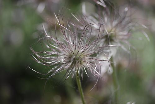 Pasqueflower - Pulsatilla vulgaris