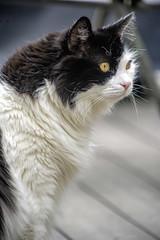 Hurley (Artrocity) Tags: cat artrocity outdoors konica hexanon 200mm spring bokeh