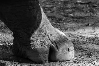 Pata de rinoceronte I